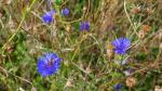 Image: Cornflowers blooming on Montpelier Roundabout