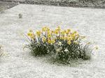 Image: Daffodils in the snow